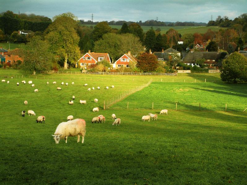 sheep grazing fields